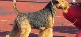 Welsh Terriers, the Fox Hunters