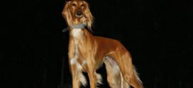 Salukis, The Arabian Greyhounds