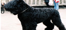 Black Russian Terriers, The Guard Dogs from