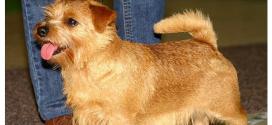 Norfolk Terriers, the Brittish drop ears