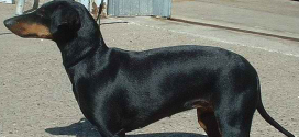 Manchester Terriers, The Smooth-Haired Terrier