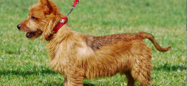 Australian Terriers, One of The Smallest Terriers
