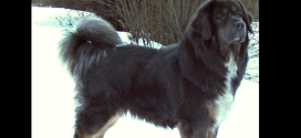 Tibetan Mastiff, Giant Nomad Dogs