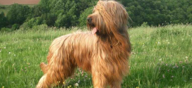 Briards, The Ancient Herding Dogs