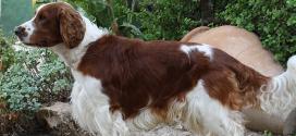 Welsh Springer Spaniels, the Working Spaniels