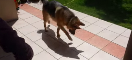 Daily dose of cute:  This German shepherd is having a blast…check it out!