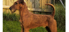 Irish Terriers, one of the oldest Terrier breeds