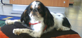 English Toy Spaniel, Small Dogs from the Far East