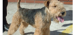 Lakeland Terriers, the Mid-Sized Terriers from England