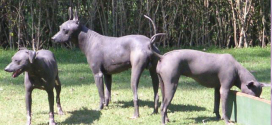 Xoloitzcuintli, the Mexican Hairless Dog