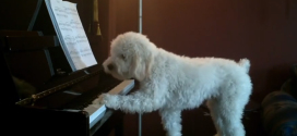 This dog can play the piano and sing!  So cute