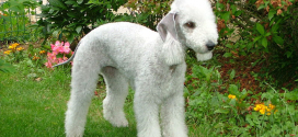 Bedlington Terrier, The Small Vermin Hunters