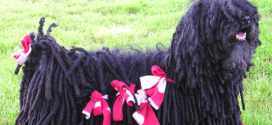 Puli, Small Herding Dogs from Hungary