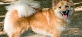 Icelandic Sheepdogs, the Spitz Type Dog from Iceland