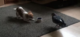 Puppy vs pigeon…fight for the food dish