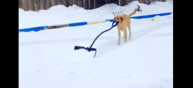 Funny clip of the day: Elsa the shoveling dog