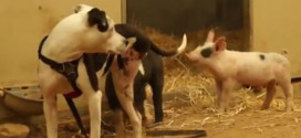 This pit bull has some cute pals!