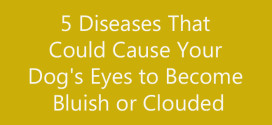 5 Diseases That Could Cause Your Dog's Eyes to Become Bluish or Clouded