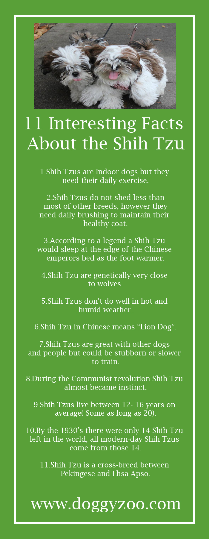11 Interesting Facts About The Shih Tzu Doggyzoocomdoggyzoocom