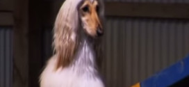Afghan Hound, The Supermodel of Dogs