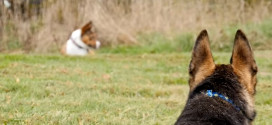 This bonded pair of dogs was separated by adoption…what happened next is amazing!