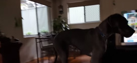 """This Great Dane knows what """"bath time"""" is"""