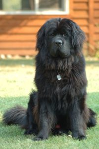 Newfoundland_dog_Smoky